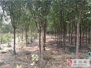 鄭州東區綠化苗木:海棠、金葉復葉槭、國槐、桑樹