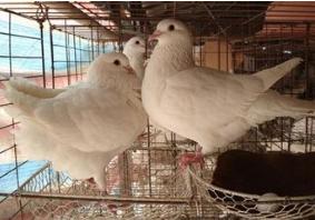 出售種鴿白羽王