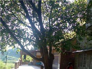 自家的黄角树出售