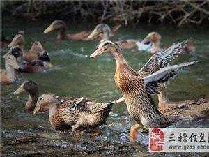 貴州朝陽生態種養殖場長期出售正宗三穗鴨