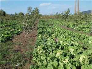 西小坪自家菜園種植無公害白菜