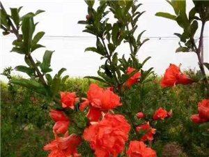 潢川苗木價格:紫丁香、枇杷、巨紫荊、晚櫻、花石榴樹