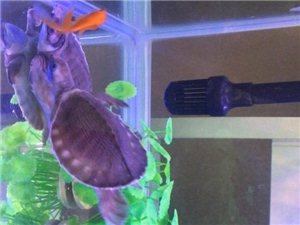 出售猪鼻龟深水龟