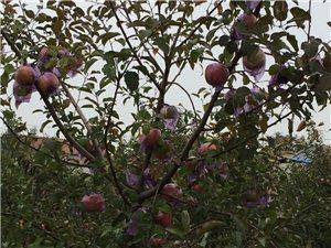 大量批發紅富士蘋果