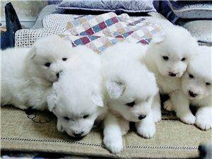 萨摩耶幼犬宝宝