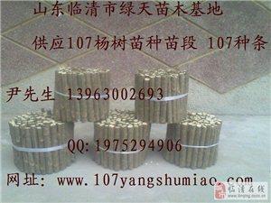 107杨树苗|杨树苗|107种条|杨树苗扦插段