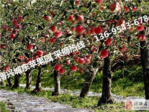 苹果批发 水果采摘 苹果零售