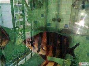 鱼只调整,请出龙鱼配鱼一条虎鱼、三条银板粗线