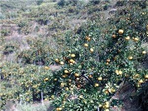 有橘子4万斤 需要的 电话