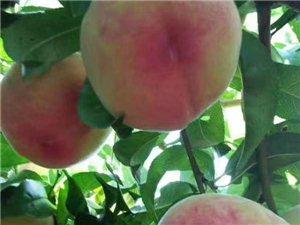 大圍村的壽桃熟了