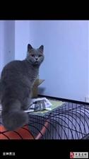 忍痛转让一只九个月的母蓝猫