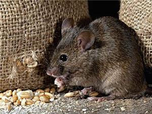 養殖現場的滅鼠