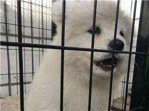 出售萨摩耶幼犬