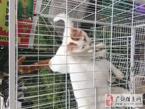 有償領養漂亮貓咪