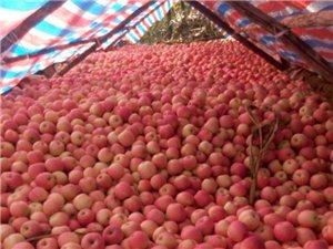 沂水县泉庄镇佃坪村大量优机苹果出售