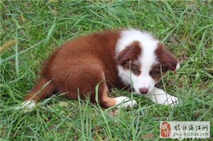 CKU兰陵王犬舍出售双血统边境牧羊犬