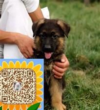 纯种德国牧羊犬 纯种德牧幼犬宝宝 品质有保障