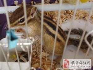 养殖场直供金花松鼠魔王松鼠雪地松鼠等宠物