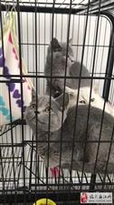 英短蓝猫弟弟妹妹都有