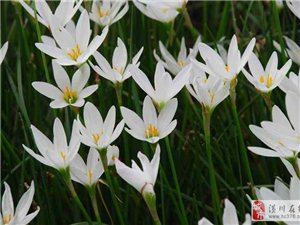 草花價格:紅花酢漿草、蔥蘭、麥冬、鳶尾、玉簪、荷花