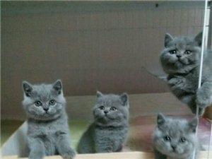 顶级彩票木木猫舍长期出售英短蓝猫,蓝白,银渐层等各个品种的宠物猫