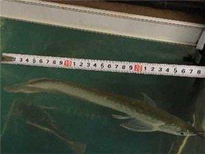 出售熱帶魚,一條銀龍,兩條招財貓,兩條清道夫