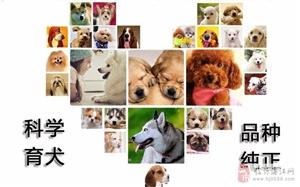 本犬舍专业繁殖出售各类宠物一包养活签协议可送货上门
