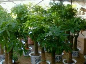 苗圃直销室内外各种绿植。优惠多多,送!送!送!