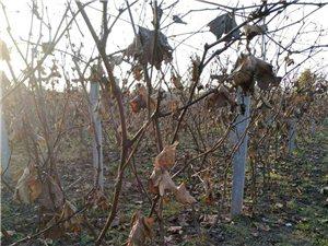 掛果1年的葡萄苗出售