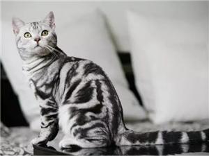极品蓝血虎斑小帅哥,帅气拉风 购猫送全套用品