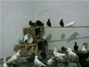 出售肉鸽,种鸽,,,