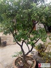 40年小奶桔树低价