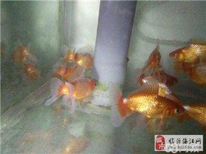 高档稀有地金金鱼