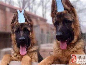 赛级血统忠诚勇敢的德国牧羊犬 警惕性强 可看家护院
