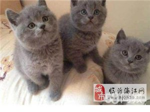 顶级彩票爱丽丝猫舍折耳猫、英短蓝猫、美短银虎斑、银渐层