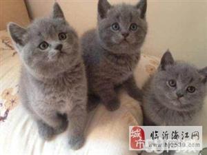 澳门新濠天地线上网址爱丽丝猫舍折耳猫、英短蓝猫、美短银虎斑、银渐层