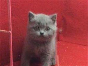 家养精品蓝猫,包活