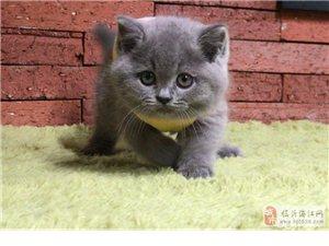 特价出售蓝猫,渐层,美短,金吉拉,第三方担保
