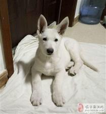 白德国牧羊犬(白德牧)白色瑞士牧羊犬(公母均有)