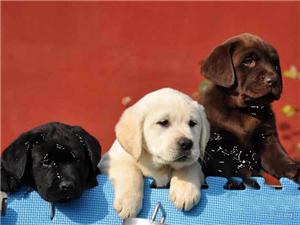 正宗拉布拉多幼犬出售狗狗很多保纯种健康