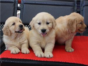 出售纯种美系大骨架大头金毛幼犬保纯种健康