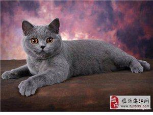 自家猫舍出售蓝猫 蓝白 美短 幼猫出售