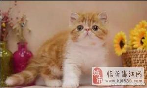 猫舍出售精品加菲猫 纯种健康签协议 加菲猫价格