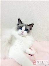 高端品质布偶猫多窝可选可签协议
