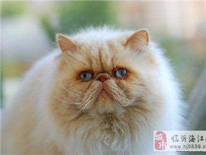 纯种波斯猫出售无病无癣喜欢赶紧抱回家