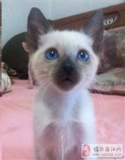AA家养暹罗猫【多窝挑选】 血统纯正——会用猫砂