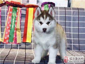 纯种哈士奇雪橇犬,三火,蓝眼.血统纯正.健康