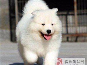 出售萨摩耶幼犬 纯种萨摩耶价格 萨摩耶多少钱一只