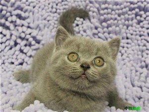 大包子蓝猫 蓝色丁香色 注册猫舍繁育精品猫咪