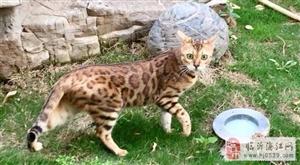 正规猫舍繁殖顶级孟加拉豹猫-纯正血统出售